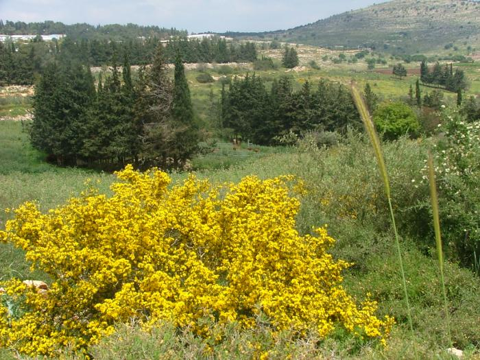 Файл:PikiWiki Israel 2274 Plants of Israel קידה שעירה.jpg